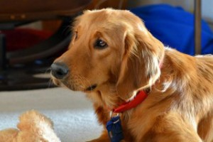 Golden retriever rescue of southern maryland inc